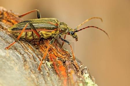 Oxymirus cursor beetle