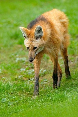 Wild dog in nature habitat