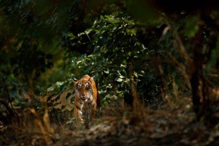 Tiger walking in green vegetation