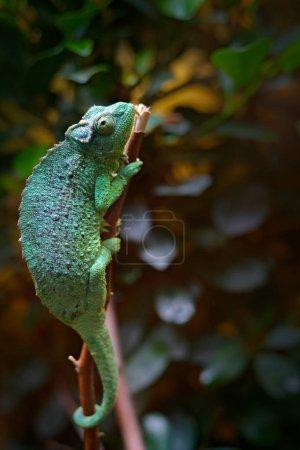 Three-horned Chameleon