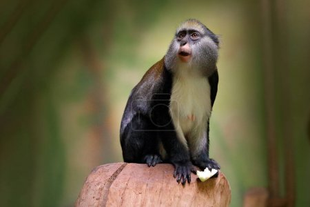 Campbell's mona monkey or Campbell's guenon monkey...