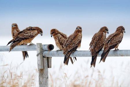 Milvus migrans sitting on fence