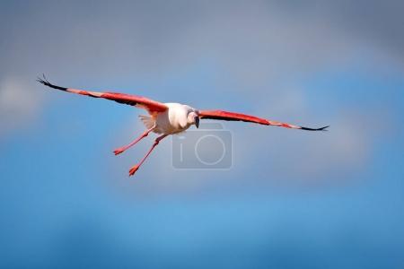 Flying Greater Flamingo