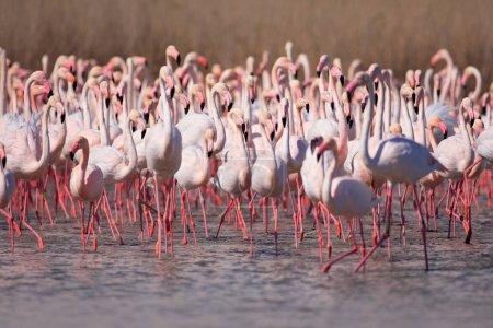 Greater Flamingos flock
