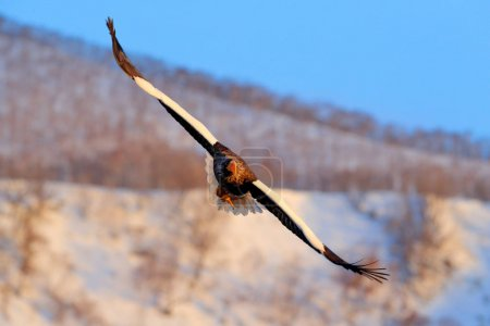 Flying rare eagle