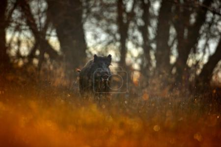 Autumn in the forest. Big Wild boar, Sus scrofa, running  grass meadow, red autumn forest in background. Wildlife scene from nature. Running animal in grass meadow. Wild pig, sunrise forest, Poland.