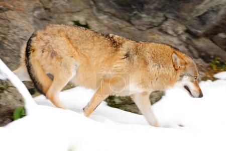 Wolf in snowy rock mountain