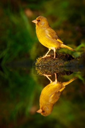 Green and yellow songbird