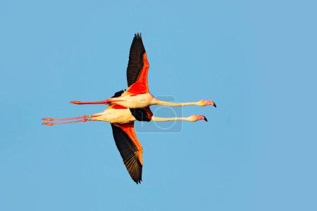 Flying pair of Flamingos