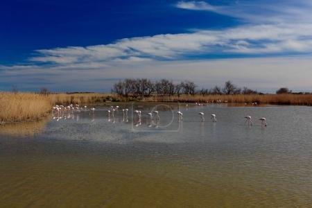 Flock of Greater Flamingos