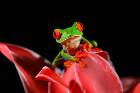 Red-eyed Tree Frog, Agalychnis callidryas, animal with big red eyes, in the nature habitat, Panama. Frog from Panama. Beautiful frog in forest, exotic animal from central America, red flower.