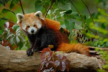 Red panda lying on the tree with green leaves. Red panda bear, Ailurus fulgens, habitat. Detail face portrait, animal from China. Wildlife scene from Asia forest. Beautiful Panda from nature.