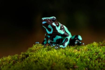 Poison frog from Amazon tropic forest, Costa Rica . Green Black Poison Dart Frog, Dendrobates auratus, in nature habitat. Beautiful motley frog from tropic forest in South America. Animal Amazon.