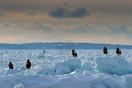 Morning ice landscape with eagles. Three eagles on ice. Widlife Japan. Steller's sea eagle, Haliaeetus pelagicus, bird with catch fish, with white snow, Hokkaido, Japan. Winter Japan, snow.  Wildlife.