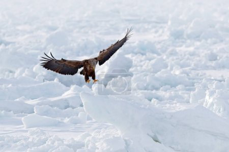 Big eagles, snow sea. Flight White-tailed eagle, Haliaeetus albicilla, Hokkaido, Japan. Action wildlife scene with ice. Eagle in fly. Eagle fight with fish. Winter scene with bird of prey.