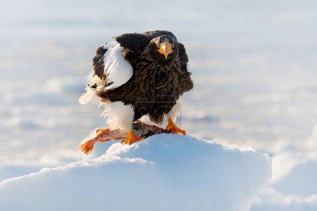 Winter Japan with snow. Beautiful Steller's sea eagle, Haliaeetus pelagicus, bird with catch fish, with white snow, Hokkaido, Japan. Wildlife action behaviour scene from nature. Eagle on ice.