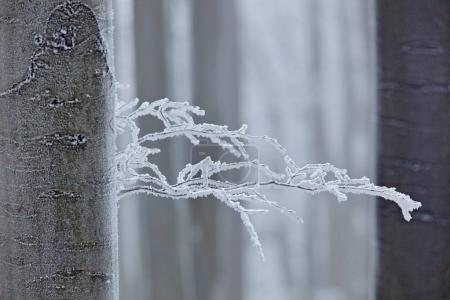 Winter in forest, trees with rime. Cold winter with ice on tree blanch in Europe, Germany. Winter wood, white forest landscape. Small branch with rime and snow.