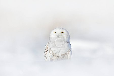Snowy owl, Nyctea scandiaca, rare bird sitting on snow, winter with snowflakes in wild Manitoba, Canada. Cold season with white owl. Wildlife scene, snowy nature. Yellow eyes in white plumage feathers.
