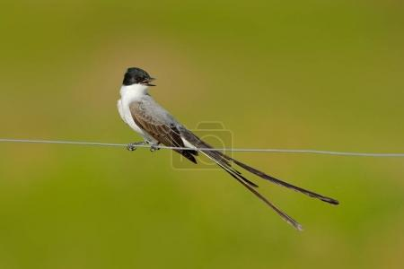 Photo for Fork-tailed Flycatcher, Tyrannus savana, black, grey and white bird with very long tail, Pantanal, Brazil. Flycatcher with open bill. Bird sitting on fence wire - Royalty Free Image