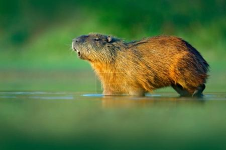 Capybara, Hydrochoerus hydrochaeris, Biggest mouse in water with evening light during sunset, Pantanal, Brazil. Wildlife scene from nature. Wildlife Brazil. Mammal, open muzzle with white tooth