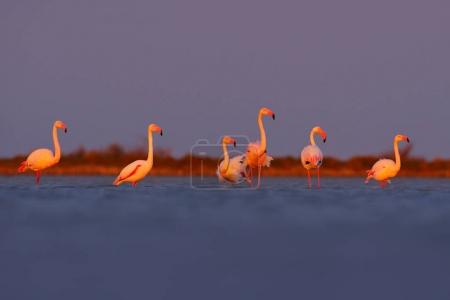 Morning light, sea water. Greater Flamingo, Phoenicopterus ruber, nice pink big bird, animal in the nature habitat, Camargue, France. Wildlife scene from wild nature. Flock of birds walking in water.