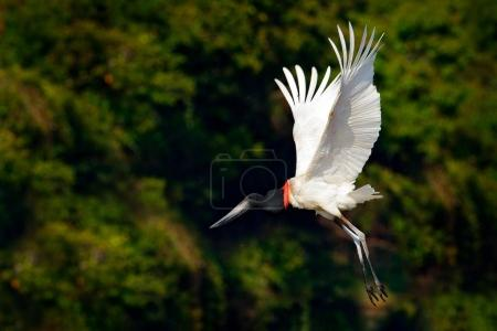 Jabiru stork fly. Jabiru, Jabiru mycteria, black and white bird in the green water with flowers, open wings, wild animal in the nature habitat, Pantanal, Brazil. Flying white bird in tropic forest.