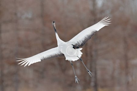 Photo for Flying White bird Red-crowned crane, Grus japonensis, with open wing, with snow storm, Hokkaido, Japan. Wildlife scene from the winter Japan. Cold winter with big white flying bird. Crane in fly. - Royalty Free Image