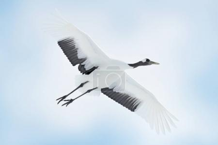 Photo for Japan crane in fly. Bird on sky. Wildlife scene from nature. - Royalty Free Image