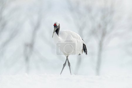Red-crowned crane, Grus japonensis, walking white with snow storm, winter scene, Hokkaido, Japan. Beautiful bird in the nature habitat. Wildlife scene from nature. Crane with snow in the cold forest.