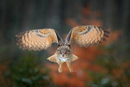 Eagle owl flying in forest. Flight Eagle owl with open wings in habitat with trees, bird fly. Action winter scene from nature, wildlife. Owl big wingspan. Autumn forest. Face portrait of cute wild owl