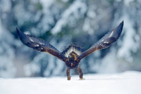 Snow winter with eagle. Bird of prey Golden Eagle with kill hare in winter with snow. Wildlife scene from Norway nature. Bird feeding catch in the snow. Cold winter with eagle.Beautiful snowflakes