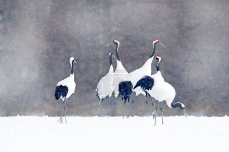 Photo for Flock of cranes with snow flakes, Japan Winter. Dancing pair of Red-crowned crane with open wing in flight, with snow storm, Hokkaido, Japan. Bird in fly, winter scene with snow. Snow dance in nature. - Royalty Free Image