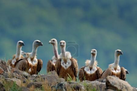 Group of vultures. Griffon Vulture, Gyps fulvus, big birds of prey sitting on stone, rock mountain, nature habitat, Madzarovo, Bulgaria, Eastern Rhodopes. Wildlife scene, hide. Wildlife scene, Balkan.