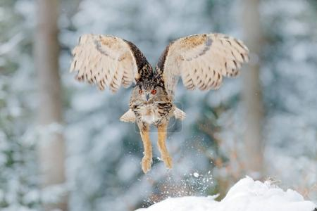 Owl start from snow. Flying Eurasian Eagle owl with open wings with snow flake in snowy forest during cold winter. Wildlife Europe, Germany. Owl in nature habitat. Bird action scene.
