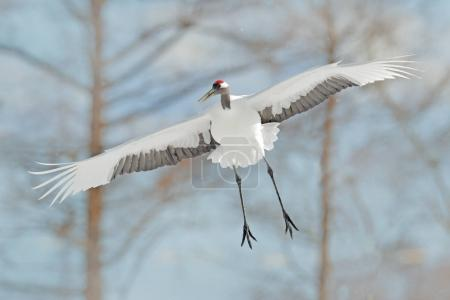 Photo for Crane in fly. Winter Japan. Flying White bird Red-crowned crane, Grus japonensis, with open wing, with snow storm, Hokkaido, Japan. Wildlife scene from the winter Japan. Cold winter with big white fly - Royalty Free Image
