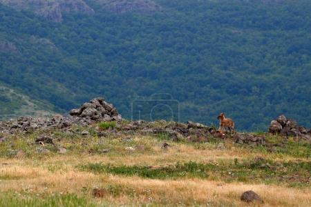 Golden jackal, Canis aureus, feeding scene with grass meadow, Madzharovo, Rhodopes, Bulgaria. Wildlife Balkan. Wild dog behaviour scene, nature. Mountain animal run habitat. Jackal catch.