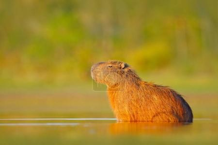 Capybara, Hydrochoerus hydrochaeris, Biggest mouse in water with evening light during sunset, Pantanal, Brazil. Wildlife scene from nature. Wildlife Brazil. Mammal, open muzzle with white tooth.