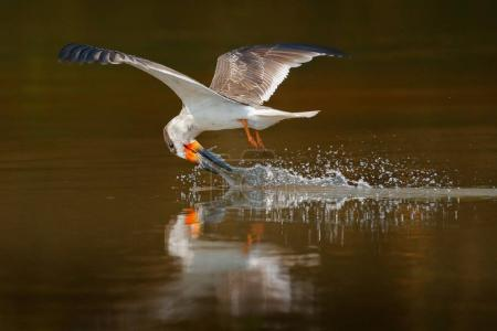 Skimmer drink water. Black skimmer fly, in river, Rio Negro, Pantanal, Brazil. Skimmer drinking water with open wings. Wildlife scene from wild nature, bird in nature lake habitat. Big tern fly.