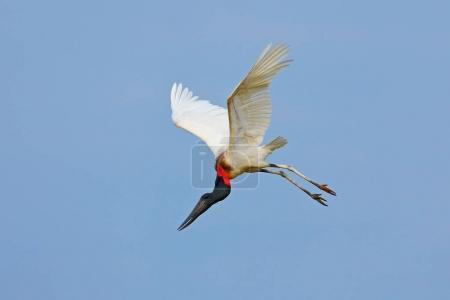 Jabiru, Jabiru mycteria, flying white bird with blue sky, Pantanal, Brazil. Big black and white bird on the sky. Wildlife scene from nature.