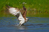 Flying osprey with fish. Action scene with bird, nature water habitat. Osprey with fish fly. Bird of prey with fish in the talon, hunting in the water, swimming in lake, Finland. Osprey catch fish.