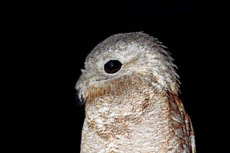 Common Potoo, Nyctibius griseus, nocturnal tropic bird sitting on the tree branch, night action scene, animal in the dark nature habitat, Pantanal, Brazil. Detail portrait of night bird.