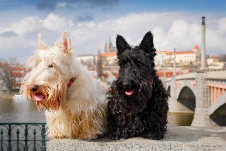 Scottish terrier, Black and white wheaten dog, pair of beautiful dogs  sitting on bridge, Prague castle in the  background. Travelling with dogs, Czech republic, Europe. Cute animals on the trip.