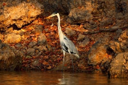 Cocoi heron, Ardea cocoi, bird with evening sun, Pantanal, Brazil. Bird in beautiful morning sun. Sunset nature lake. Wildlife Brazil. Heron, sunrise, Pantanal.