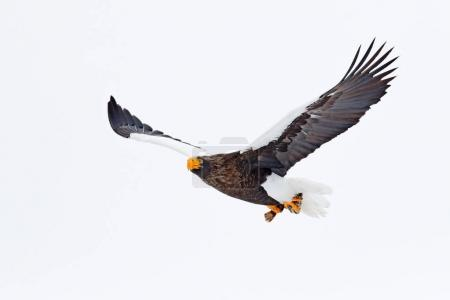 Steller's sea eagle, Haliaeetus pelagicus, flying bird of prey, with blue sky in background, Hokkaido, Japan. Eagle with nature mountain habitat. Winter scene with snow and eagle. Flying rare eagle.