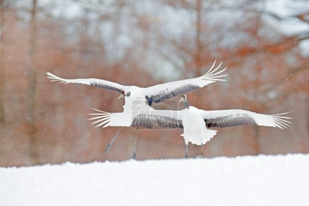 Photo for Two birds dancing. Flying White two birds Red-crowned crane, Grus japonensis, with open wing, blue sky with white clouds in background, Hokkaido, Japan. Cranes in blue. Winter scene from Japan. - Royalty Free Image
