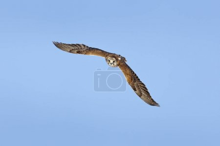 Saker falcon, Falco cherrug, bird of prey fly.  Blue sky in cold winter, animal in nature habitat, France. Wildlife scene form nature. Bird flight.