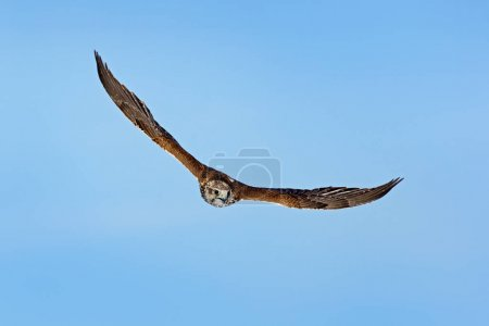 Saker falcon, Falco cherrug, bird of prey fly.  Blue sky in cold winter, animal in nature habitat, France. Bird hunting on sky. Wildlife scene form nature. Bird flight.