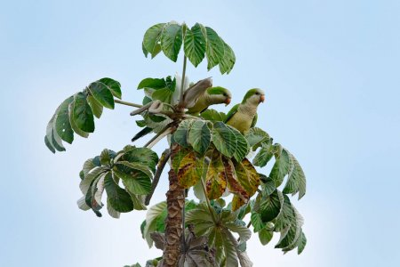 Green parrot, monk parakeet, Myiopsitta monachus, bird in the nature tree habitat, eating fruit, Pantanal, Brazil. Quaker parrot. Two birds on palm tree. Wildlife scene from South America.