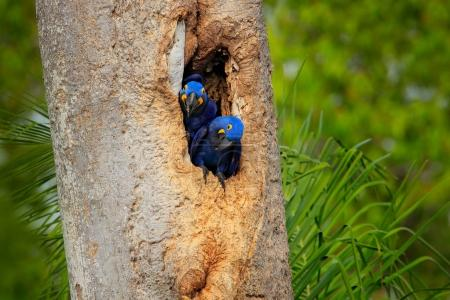 Hyacinth Macaw, two birds nesting, in tree nest cavity, Pantanal, Brazil, South America. Detail portrait of beautiful big blue parrot in nature habitat. Pair macaw in nest hole. Nesting behaviour.
