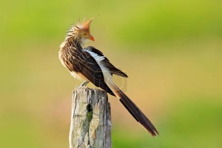 Guira cuckoo, Guira guira,  in nature habitat, bird sitting in perch, grey bird, Mato Grosso, Pantanal, Brazil. Evening light. Cuckoo from Brazil, green background, open bill, hot day. Travelling.